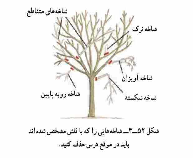 چگونگی هرس درخت