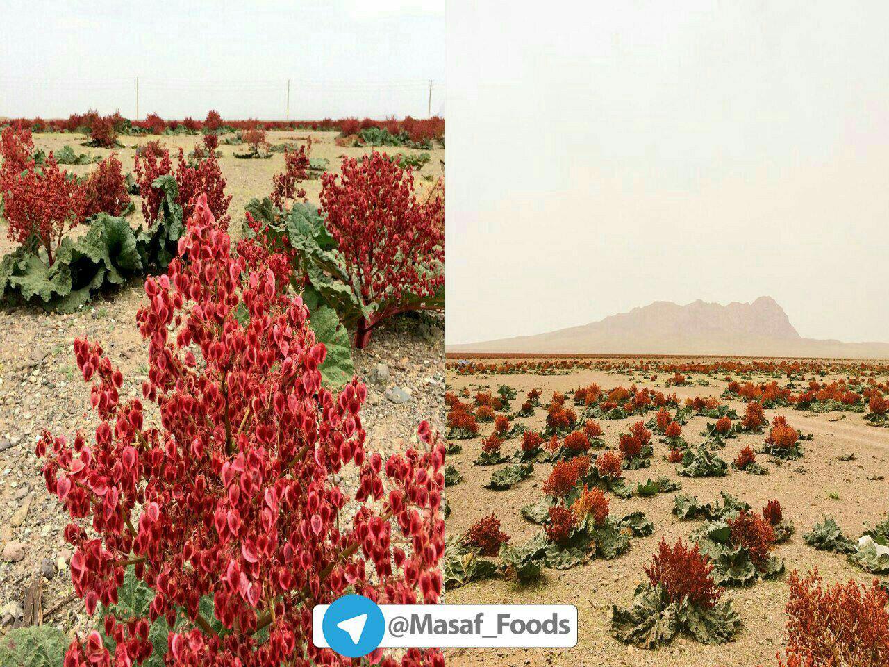 دشت ریواس شهر بابک و گل های سرخ ریواس…