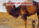 پرورش شتر در کشور احیا میشود