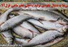 خارجیها به دنبال نابودی تولید داخلی تخم ماهی قزلآلا هستند