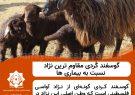 گوسفند کُردی مقاوم ترین نژاد نسبت به بیماری ها